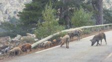 cochons ou sangliers